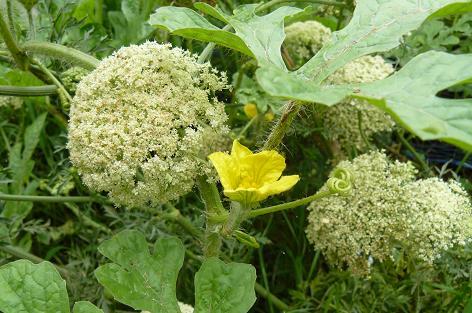 人参の花とスイカの花