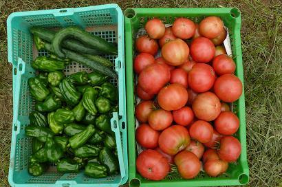 桃太郎トマト 大収穫♪♪