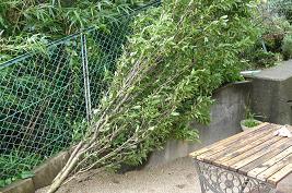 台風4号で倒れた桃の木 (>_<)