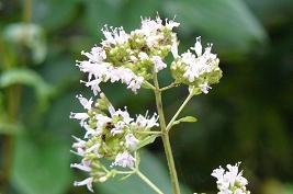 オレガノの花