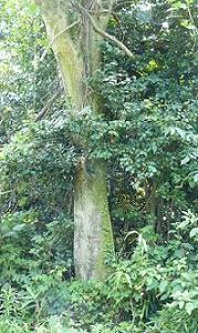 畑の横の大木