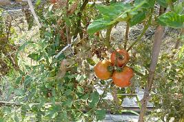 終わりが近い トマト