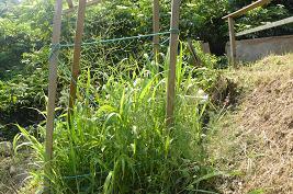 アスパラの周り草ボウボウ