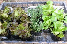 野菜苗 チシャ、チマサンチュ、ローズマリー