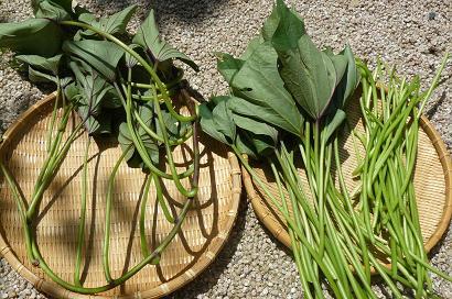 サツマイモの茎 収穫(^.^)