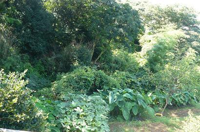 畑下段から見た風景 亜熱帯林??