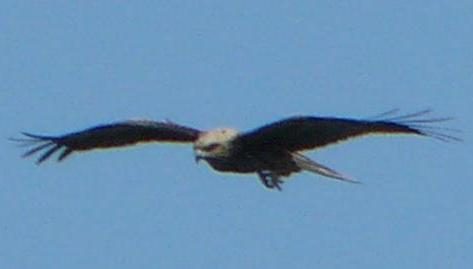 空を優雅に飛ぶ鳶