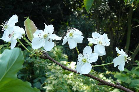 狂い咲き 梨の花
