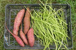 試し掘りサツマイモ&茎