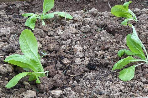 早生白菜 定植