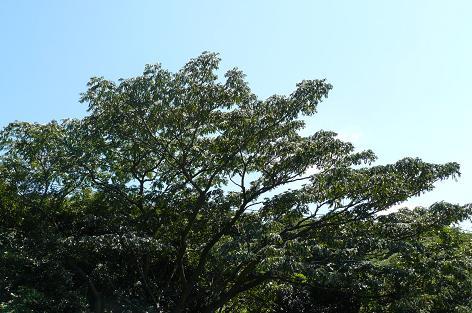 大きなハゼの木