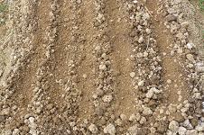 早生玉ネギ 種蒔