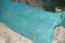 早生玉ネギに乾燥防止ネット