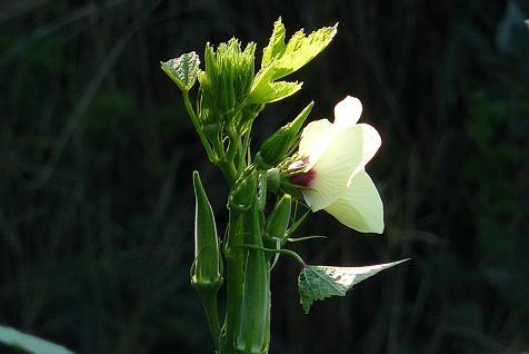 2m70cmを超えたオクラの花 (@_@)