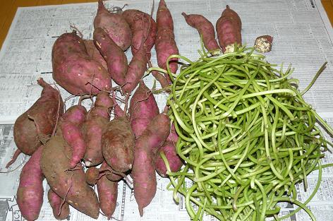 今日の収獲② サツマイモとイモの茎