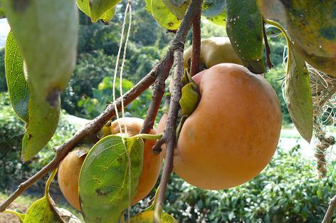 富有柿が実る