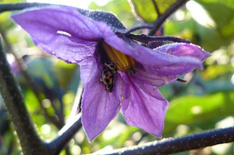 大長茄子の花に虫が・・