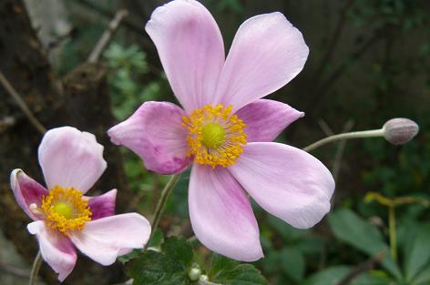 シュウメイ菊の花