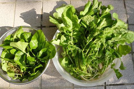 ゴボウと大根の間引き菜