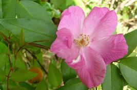 畑上段のバラ