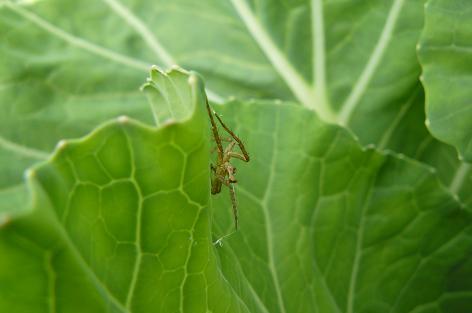キャベツに蜘蛛