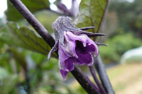 根性茄子の花