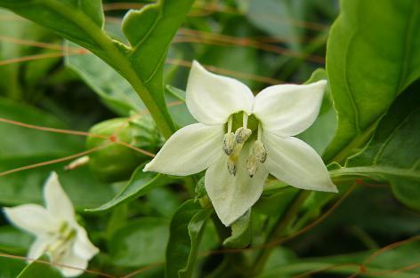 カラーピーマンの花