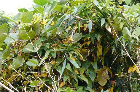 自然薯の葉