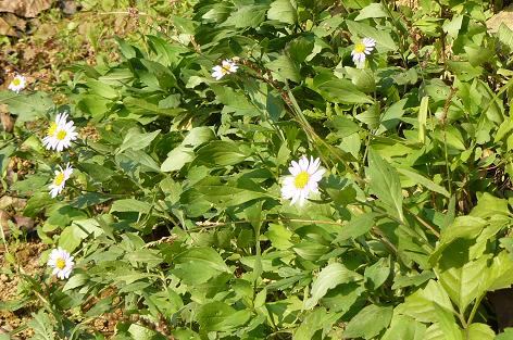 土手に咲くヨメナ