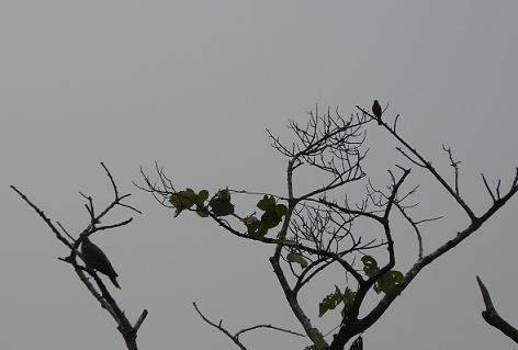 ジョウビタキとキジ鳩