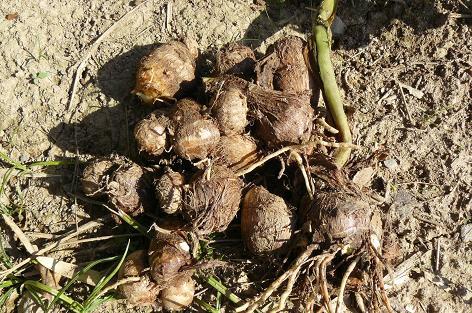 ぎょえ~(@_@;) 畝に植付した里芋よりたくさん入っている。