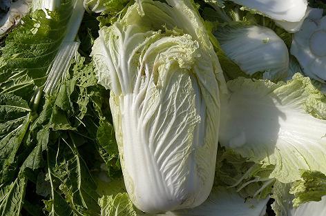 外葉を取って小さくなった白菜