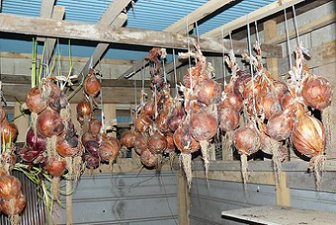保存小屋の玉ネギ