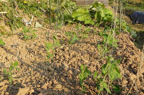 10月末に種蒔したスナックエンドウ