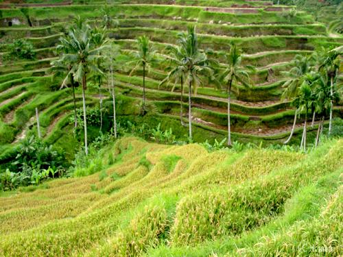 rice-terrace002.jpg