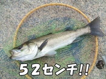 ハネ52センチ!