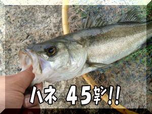 ハネ45センチ