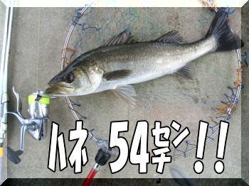 ハネ54センチ!