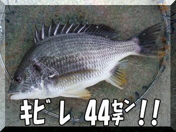 キビレ44センチ!