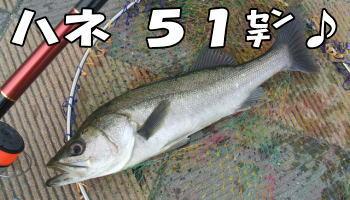ハネ51センチ