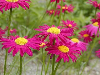 ジョチュウギク(赤花)