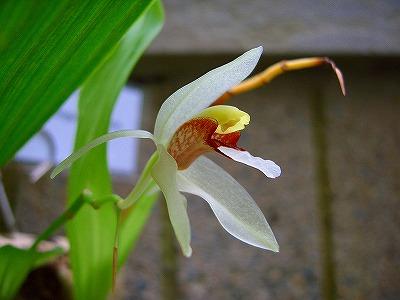 蘭の花01