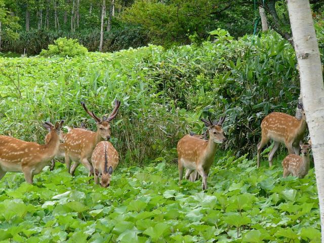 羅臼の鹿達