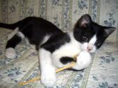 白黒の仔猫