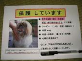 迷子犬シーズーのポスター