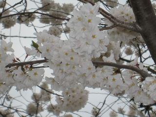 タイダルベイスンの桜の花