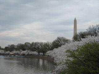 タイダルベイスン桜並木