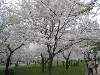 満開のタイダルベイスンの桜