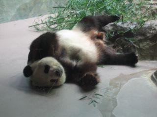 ぐったりしたパンダ