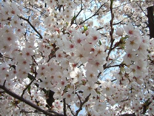 現場の桜2